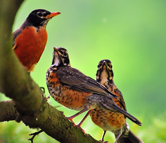Young and Old (ozoni11) Tags: bird nature robin birds animal animals interestingness nikon bokeh maryland robins explore ornithology americanrobin d300 282 passerine interestingness282 i500 explore282 animaladdiction michaeloberman americanrobins ozoni11