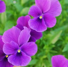 Viola Cornuta....one of my favorites !! (Tante Bluhme's) Tags: flower garden sweden naturesfinest violacornuta bstad mywinners abigfave anawesomeshot impressedbeauty diamondclassphotographer flickrdiamond empyreanflowers betterthangood theperfectphotographer awesomeblossoms