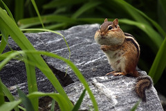 Chubby Cheeks (Megan Lorenz) Tags: toronto ontario cute nature outdoors rodent funny wildlife chipmunk makingfaces wildanimals chubbycheeks naturesfinest abigfave qualitypixels