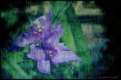 Blue triangles (Kirsten M Lentoft) Tags: blue flower garden textured abigfave momse2600 superbmasterpiece kirstenmlentoft newgoldenseal