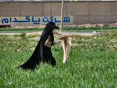 Wheat hunting (dynamosquito) Tags: persian iran wheat insects persia shiraz iranian agriculture perse fars iranianwoman iranien chiraz panasoniclumixdmcfz50 iranianpeople ingeneer dynamosquito barmedilak