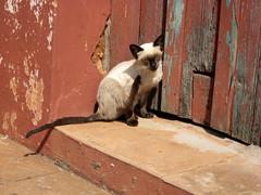 cat scratch (parttimefarm) Tags: animal brasil fence kitten siamese echapora