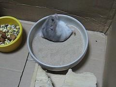 jiro the hamster