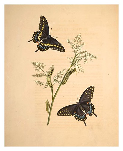 02-Illustration of Papilio Troilus. Anethum Fœniculum 1
