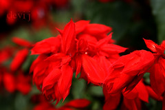 soooo red.... (Devi Jagannathan) Tags: red india flower colorful ooty nilgiri devu devij