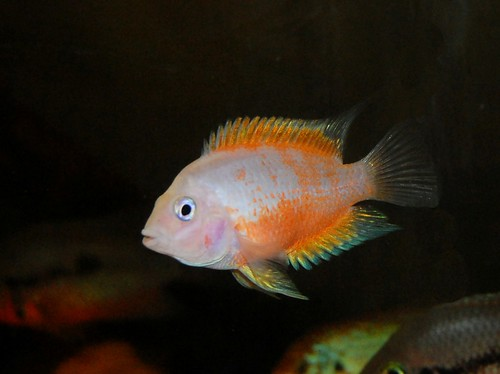 Pink Convict Cichlid Images & Pictures - Becuo