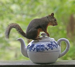 Tea Time With Nick (Peggy Collins) Tags: nature animal interestingness squirrel bokeh wildlife nick explore teapot teaparty supershot flickrsbest platinumphoto anawesomeshot impressedbeauty notsquiggy