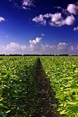 Growing Soybeans (edwardleger) Tags: sky plant nature field rural louisiana row crop 2008 soybeans edwardleger exquisiteimage edwardnleger