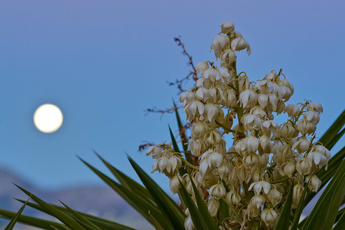 Yucca Flower By Moonlight