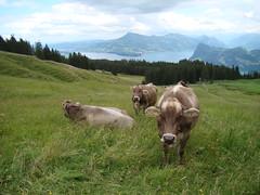 Europe 2008 774 (Box of Whine) Tags: europe cattle cows luzern pilatus lucerne cowbell mountpilatus mtpilatus brownswiss eurotrip2008europeswitzerland