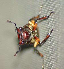 Bugeyed varmit (Lisa Nail Photography) Tags: bug insect beetle pinchers napg pentaxk10d