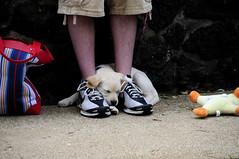 Sammi (Nikon66) Tags: yellow puppy nikon labrador d300 18200mmvr impressedbeauty copyright