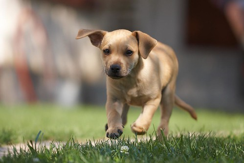 yellow labrador puppy running toward the camera