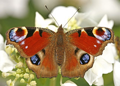 Peacock (brianrosshaslam) Tags: peacockbutterfly naturesfinest goldenphotographer macromarvels spectacularmacro