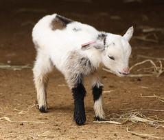Baby Goat (Helena Pugsley) Tags: animal goat cotswoldwildlifepark 15challengeswinner thechallengegame challengegamewinner