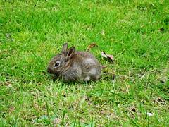 fiver (hockberg99) Tags: wildlife hazel portsmouth hamphire rabbits watershipdown fiver bunnyrabbit kuneho
