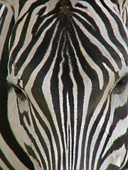Stripes (Roger Smith) Tags: abstract mississippi zoo stripes zebra striped hattiesburg grantszebra tcon17 equusquaggaboehmi