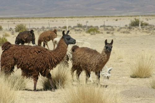 Llamas north of Abra Pampa, Argentina.