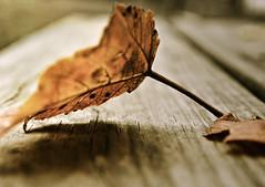Standing Tall (m.gruber) Tags: wood autumn fall leaf stem dof bokeh pennsylvania grain crack