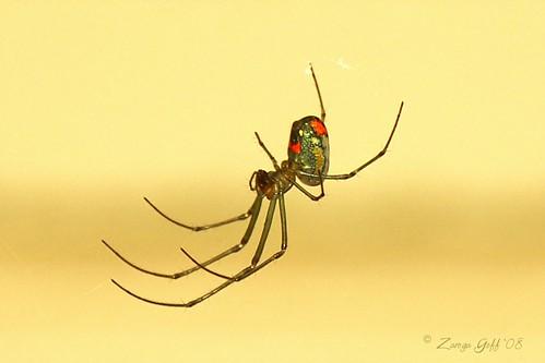 "Orchard Spider ""Leucauge venusta"""