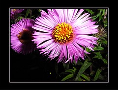 Asters (marcoswed) Tags: autumn black flower sweden sensational purpur autumnflower avesomeblossoms