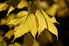 Glowing Leaves (shutterbugMike) Tags: autumn autumnfoliage fallleaves fall leaf fallcolors newhampshire nh pemigewasset autumnleaves autumncolors fallfoliage pemi meredithnh autumninnewengland fallinnh fallinnewengland lakepemigewasset meredithnewhampshire autumninnh