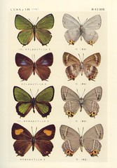 papillon 42