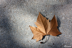 Lleg el otoo - Fall is here (GViciano) Tags: autumn fall hoja leaf otoo fulla tardor castelln oltusfotos gviciano