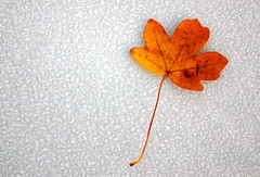 Frozen Autumn Leaf... (Ben Ward In Hove) Tags: autumn fall ice golden leaf maple brighton frost hove fourseasons rime 4seasons benward benwardinhove benedictward