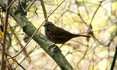 Songs Of Autumn (ebirdman) Tags: songsparrow song sparrow melospizamelodia melospiza melodia morphna