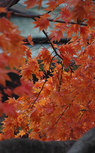 Japanese Maple, Japanese Garden, Brooklyn Botanic Garden