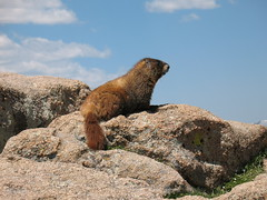 Marmot - Rocky Mountain NP - July 2008 (queenofthelibrary) Tags: mountain wildlife rocky np