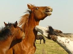 P1290748 (Erniebm) Tags: horses argentina caballos buenosaires campo pergamino potrillos