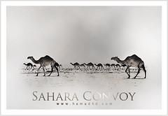 Sahara Convoy (Hamad Al-meer) Tags: brown black art sahara animal animals canon photography eos design photo shot desert image racing camel hd kuwait effect convoy hamad 100400mm edit q8 30d artphoto hmd       kuwaitphoto  hamadhd hamadhdcom hamadcom wwwhamadhdcom hamadh