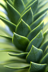 Monkey Puzzle (The Green Album) Tags: macro tree green closeup point branch sharp diagonal spike oblique nationaltrust monkeypuzzle abigfave superaplus aplusphoto theunforgettablepictures platinumheartaward macromarvels ahqmacro frostyedges