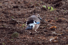 Ghiandaia (giansacca) Tags: birds animals jay uccelli animaux animali oiseaux eurasianjay geai garrulusglandarius gayo ghiandaia arrendajo geaideschenes