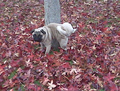 IMG00380 (lacymarie) Tags: thanksgiving fall puppy pug gus peeing