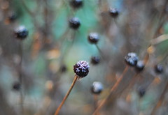 Frosty Morning (six28fifty) Tags: flower nature garden 50mm frost bokeh seedhead rudbeckia mybackyard