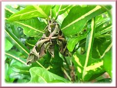 Daphnis nerii (Oleander Hawk-moth) on The Arrowhead Croton bush