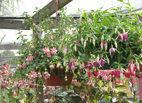 fuchsia in a hanging basket