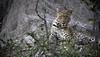 20090901 Okavango - Moremi 150 (blogmulo) Tags: africa travel fauna canon leopardo wildlife reserve delta safari viajes leopard botswana moremi f28 okavango canon70200 canon450d blogmulo
