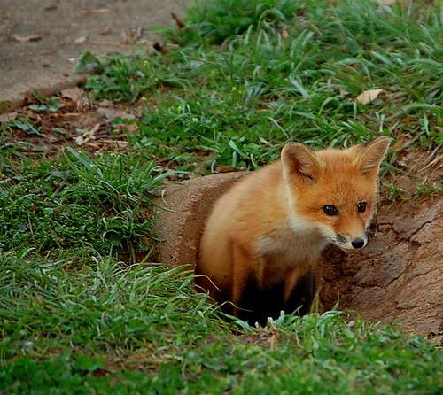 the fox diaries - Valarie Budayr
