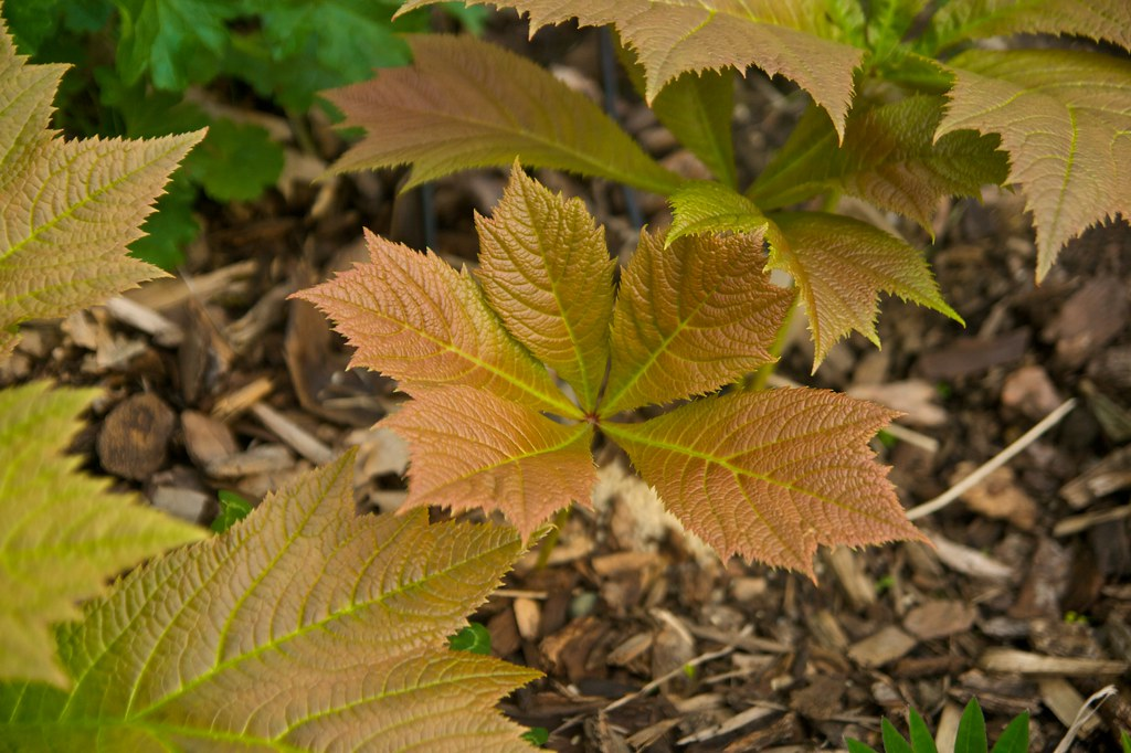 rodgersia podophylla clumping  296