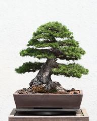 [フリー画像] 花・植物, 盆栽, 201106031300