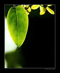 lonely leaf #3 [explored] (e.nhan) Tags: flowers light black flower green art nature leaves closeup leaf colorful colours shadows dof bokeh arts backlighting enhan