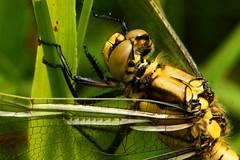 DSC05448 - Immature Black tailed skimmer (steve R J) Tags: black dragonfly tyler british immature wat tailed skimmer odonata