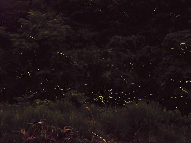 川浦川の蛍 fireflies in kawaura river