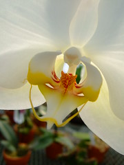 Orchid (natl1046) Tags: white plant orchid flower yellow pretty searchthebest bloom delicate diamondclassphotographer flickrdiamond flowerpicturesnolimits