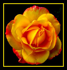 majestic_rose (elbfoto) Tags: red orange flower color nature rose yellow natur blume farben mywinners anawesomeshot superbmasterpiece diamondclassphotographer theunforgettablepictures onlythebestare thatsclassy theperfectphotographer eyeofthephotographer goldstaraward treeofhonor2 multimegashot showmeyourqualitypixels