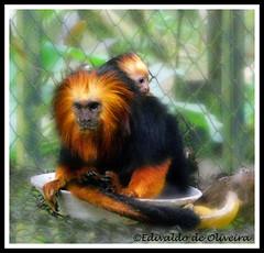 Animal Instinct (Edivaldo de Oliveira) Tags: tamarin leontopithecuschrysomelas micoleãodecaradourada